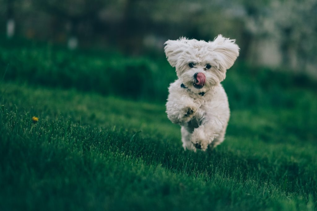 Springande Bichon Frisé