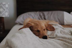 Hund sover på hotell i Stockholm