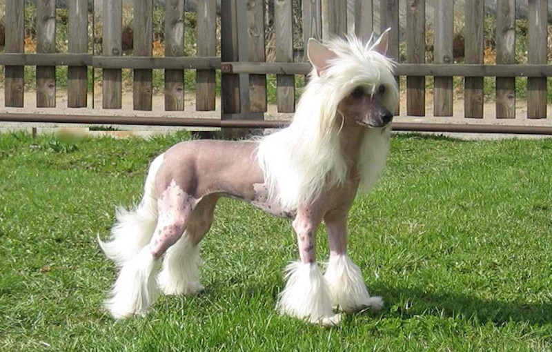 Chinese crested dog in the sun
